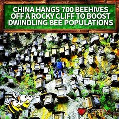 #Solution: #China Hangs 700 #Beehives Off A Rocky #Cliff to Boost Dwindling #Bee Populations  #InsprMe #Bees #HoneyBees  The Shennongjia Nature Reserve in central China has an unusual approach to boost the countrys dwindling bee population: a sky-high vertical apiary.  Roughly 700 wooden beehives hang from a cliff 4000 feet above sea level on a mountain in the conservation area. According to Peoples Daily Online this vertigo-inducing wall of hives is meant to attract the areas wild bees…