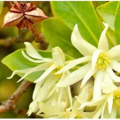 Floral Waters - Anise Star Floral Water