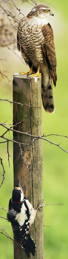 Woodpecker escapes gaze of hungry sparrowhawk