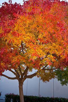 Chinese Pistache Tree 1989 chinese pistache tree pistacia chinensis bright orange and yellow fall color www.haroldleidner.com #fallfoliage
