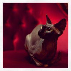 sphynx cat siame