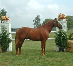 Irish Draught Stallions | Oak Hill Irish Draught Horses and Sporthorses Breeders Horses for Sale ...