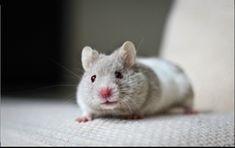 Hamster Syrian (so cute)