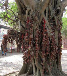 The wishing tree in Konkalipëeth, Shantiniketan