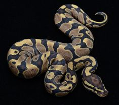 Python Regius, also known as a ball python - They are beautiful and have a very sweet disposition, but they are kind of boring. They are easy to take care of, though, and don't grow very big, so they make a good pet for a young reptile lover. (Have)