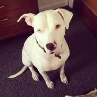 Beautiful story of a deaf Pit bull being saved and saving his owner at the same time.