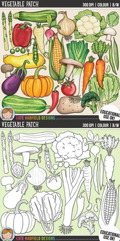 Vegetable clip art for teachers! Contains coloured clipart and black and white outlines at 300 dpi for highest quality printing for your resources and projects!  Hand-drawn clip art by Kate Hadfield Designs at Teachers Pay Teachers.