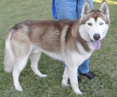 Mikah  Breed:  Siberian Husky / Mixed (medium coat)  Age:  Young  Sex:  Male  Size:  Large  Shelter:  Northern California Sled Dog Rescue  Location:  Vallejo, CA 94591
