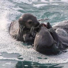 """#California #Carmel #BigSur A special moment between a Mama """"Sea Otter"""" and her young pup as they share a """" Sea Urchin"""" for lunch. #livingbythesea #livingthedream #lifeissweet#producer #director#film#art#photography #photo#songwriter #guitar#lifestyle #ranch#horses#cattle#look#lifeisgood #happy#joy#love#thankful #gratitude #springtime #montereylocals - posted by Patti's Studio https://www.instagram.com/pattisstudio23. See more of Big Sur at http://bigsurlocals.com"""