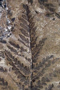 Fossil leaves. Twitter / ezequielvera: Closing the #FossilFriday ...