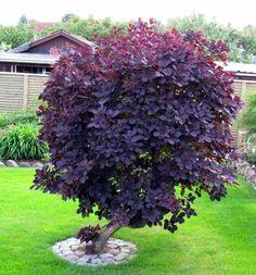 Purple Shrubs, Purple Trees, Green Trees, Garden Shrubs, Landscaping Plants, Trees And Shrubs, Trees To Plant, Flowering Shrubs, Purple Smoke Bush