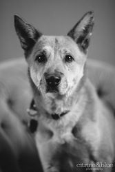 Lancelot is an adoptable German Shepherd Dog Dog in Portland, OR. Sir Lancelot here! That's right; a legend, a loyal friend, a romantic and much much more. But after the fall of Arthur's Court I have ...