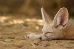 Foxes sleep for an average of 11 hours a day. Contrary to popular belief, foxes usually don't sleep in their dens. They prefer to sleep above ground, wrapping their bushy tails tight around their bodies for warmth, with their noses buried in the fluff. The above sleeping fennec fox, a big-eared, nocturnal fox found in the Sahara of northern Africa, is warm enough that it doesn't need to use its tail for additional heat.