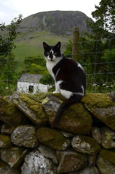 Lake District Cat on a Dry stone Wall. (A method of building that doesn't involve any mortar to hold the stones in place, walls, bridges and buildings have been constructed in this way since before the Roman era.)