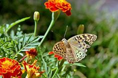 ☺Butterflies and Flower Gardens go together.  Can one survive without the other?