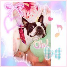 . 。*⑅୨୧┈┈┈┈┈┈┈┈┈୨୧⑅*。 . hello~🐩❤︎ はんちゃんに服着せた~🙈💓💜 でも、腕?擦れて赤くなってる~(´๑•_•๑`) . . . . . #pink#days#happy#emiriawiz#エミリアウィズ#いつも可愛く#愛沢えみり#可愛い#だいすき#ハンサム#ボストンテリア#フレンチブルドッグ#犬#動物#オシャレ#キラキラ#ピンク#ジルスチュアート#Jillstuart#miumiu #yammy #ミュウミュウ#バレンタイン#るん#お姫様#愛犬#家族#ぶさかわ