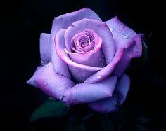 капли на роуз фиолетовый вектор