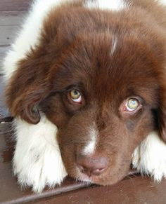 Newfoundland puppy. My sweet Maverick!