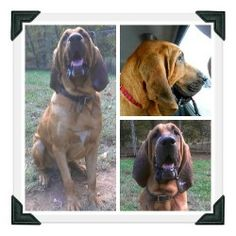 Otis is an adoptable Bloodhound Dog in Simcoe, ON. Otis is under 2 years young and a bundle of goofy fun. He's a high energy boy who needs an active family who can keep up with his energy level.  Pl...
