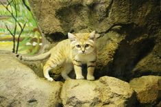 Why Is the Sand Cat the Strongest Cat on Earth?