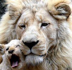 Papa Sam est aux petits soins avec son bébé de quatre mois au zoo de Tbilissi en Georgie.