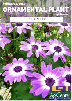Pericallis – Ornamental Plant of the Week for February 2, 2015-  These are good plants for late-winter through late-spring flower color. Ideally, pericallis should be used as a decorative container plant.  Pericallis are cold hardy to the upper 30s or low 40s. They're not frost-tolerant and will need some protection if planted in a landscape before the last killing frost or freeze.