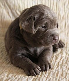 Mind Blowing Facts About Labrador Retrievers And Ideas. Amazing Facts About Labrador Retrievers And Ideas. Tiny Puppies, Cute Puppies, Cute Dogs, Cute Baby Animals, Animals And Pets, Chocolate Lab Puppies, Chocolate Labs, Tier Fotos, I Love Dogs