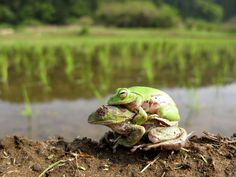 https://flic.kr/p/9vwLah | Don't Give Up! | Schlegel's green tree frogs, Chiba, Japan, May, 2011  シュレーゲルアオガエル