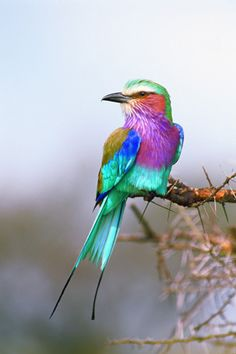 """""""Jewel of the Serengeti"""" -   Serengeti National Park, Tanzania.    Bedazzling the muted hues of the dusty East  #African plains is this lilac breasted roller by THOMAS D. MANGELSEN"""