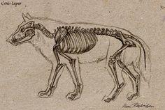 Wolf Skeleton by Katie Pfeilschiefter Skeleton Drawings, Dog Skeleton, Skeleton Tattoos, Draw Wolf, Wolf Outline, Bear Sketch, Skeleton Anatomy, Dinosaur Tattoos, Anatomy Drawing