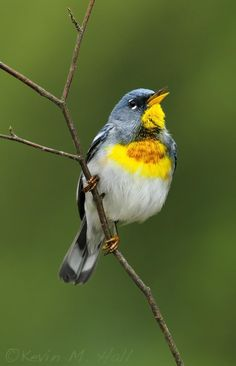 Northern Parula VIII by Kevin Hall on 500px