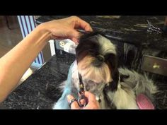 Grooming the Shih Tzu Face - YouTube