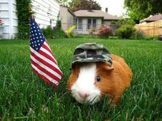 This guinea pig is proud to stand for freedom!