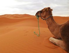 Marokko, Sanddünen Erg Chebbi von Erfoud, Dromedar - Feierabend , 7-43/2082 v
