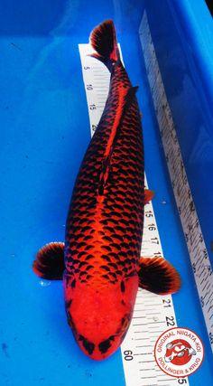 Koi wish list - Beni Ginga Pretty Fish, Cool Fish, Beautiful Fish, Koi Fish Pond, Fish Ponds, Koi Art, Fish Art, Koi Kunst, Koi Fish Colors