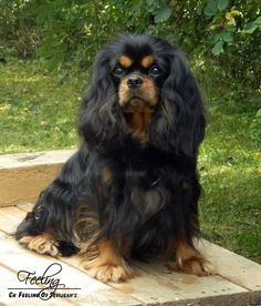 ❤️Black and Tan Cavalier King Charles Spaniel