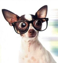 i think these glasses make my eyes look bigger! My Piper is half Chihuahua.  She looks very much like this__________  but no glasses!