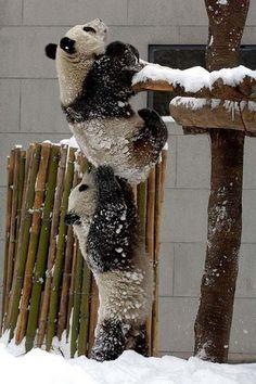 The Inspiring Act Of Panda Altruism