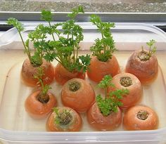 13 Vegetables That Magically Regrow Themselves You can grow carrot greens from discarded carrot tops. ******so u can buy organic and regrow organic******* ******could actually afford organic now! Carrot greens can be regrown from carrot tops. Growing Veggies, Growing Plants, Growing Carrots From Seed, Organic Gardening, Gardening Tips, Indoor Gardening, Beginners Gardening, Indoor Greenhouse, Gardening Quotes
