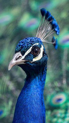 Peacock Animal Bird Nature Blue #iPhone #5s #wallpaper