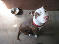 Middletown Animal Control    https://www.facebook.com/groups/CTAnimalRecoveryLLC/permalink/538810202956691/ Yesterday at 5:13pm This adorable pittie was found today on Spring St in Middletown, CT.   860-638-4030 white brown pit