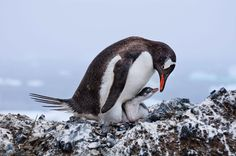 Gentoo Penguins by Deborah Albert / Grand Prize Winner 2017 Audubon Photography Awards Award Winning Photography, Photography Awards, Wildlife Photography, Animal Photography, Polar Animals, Cute Animals, Baby Animals, Gentoo Penguin, Natural Ecosystem