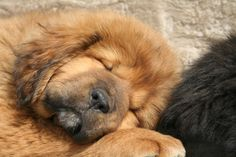 Mytraia Tibetan Mastiff, Chow Chow, Bear, Dogs, Cute, Animals, Animales, Animaux, Pet Dogs