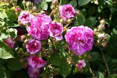 Kletterrose Rosa Russelliana