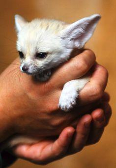 fennec-fox (7)
