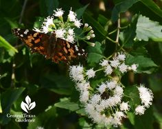 Painted Lady butterfly on white mistflower Central Texas Gardener