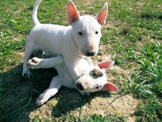 Bullie puppies caught red handed having a tussle! For bullie t-shirts check out www.projectbullterrier.com