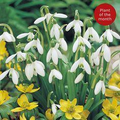 Snowdrop (Single-flowered)   Thompson & Morgan