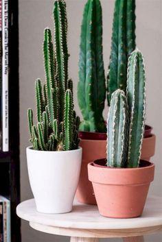 Cactus Room Decor New San Pedro Echinopsis Pachanoi Cacti Indoor Cactus Plants, Cactus House Plants, Cactus Pot, Cactus Flower, Catus Plants, Flower Bookey, Flower Film, Cacti Garden, Flower Pots