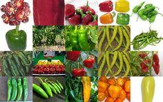 Los pimientos y guindillas más comunes que se cultivan en España, breves comentarios. | La Cocina Paso a Paso